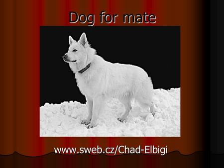 Dog for mate www.sweb.cz/Chad-Elbigi. Chad Elbigi White Swiss Shepherd.