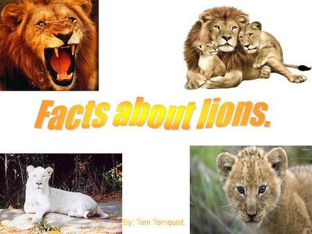 By: Toni Tornquist.. Lions live in cool climates as well as in places with hot heat: like the woodlands, grassy plains, and in areas with thorny scrub.