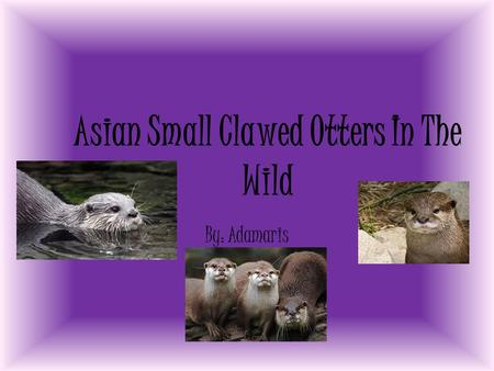 Asian Small Clawed Otters In The Wild By: Adamaris.