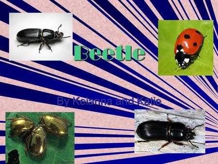Beetle By Keianna and Katie. Contents Ladybird 3 Ladybird 3 Gold Beetle 4 Ladybird 5 Ladybird 5 Glossary 6 Glossary 6.