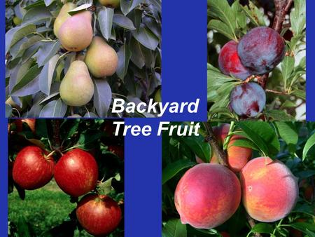 Backyard Tree Fruit. Tree Fruit: The Gardeners Challenge! Frost susceptible Pollination requirement High pest pressure –Insects, fungi, bacteria, and.