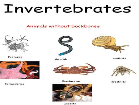 INVERTEBRATES. YOU MUST KNOW… THE TRAITS WHICH ARE USED TO DIVIDE THE ANIMALS INTO GROUPS EXAMPLES AND UNIQUE TRAITS FOR EACH PHYLUM DISCUSSED THE EVOLUTION.