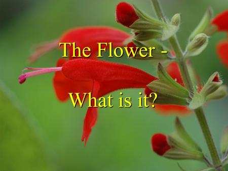 The Flower - What is it?. The Flower What is it? from Schleiden 1855 foliar theory of flower - J.W. von Goethe in Attempt to Interpret the Metamorphosis.