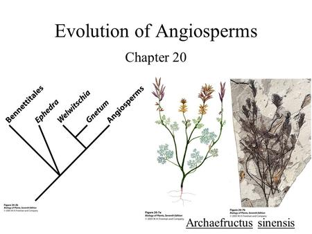 Evolution of Angiosperms Chapter 20 Archaefructus sinensis.