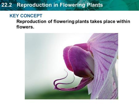 22.2 Reproduction in Flowering Plants KEY CONCEPT Reproduction of flowering plants takes place within flowers.