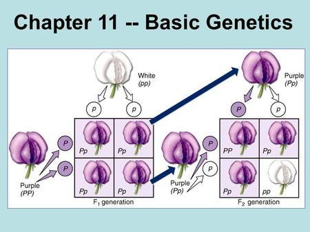 Chapter 11 -- Basic Genetics. Inheritance Gregor Mendel 1822-1884.