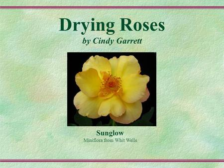 Drying Roses by Cindy Garrett Sunglow Miniflora from Whit Wells.