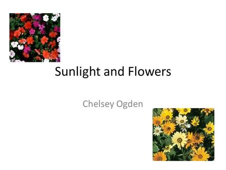 Sunlight and Flowers Chelsey Ogden. Hypothesis Hypothesis: The plant that is the farthest away from the sun will not grow as much as the plants that are.