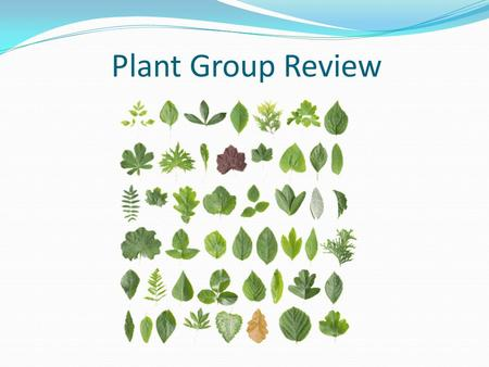 Plant Group Review. Conifers Plant Groups 1 Non-vascular 2 Vascular without seeds 3 Vascular with seeds no flowers 4 Vascular with seeds and flowers.