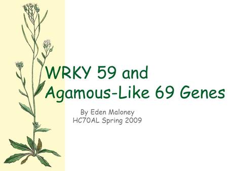 By Eden Maloney HC70AL Spring 2009 WRKY 59 and Agamous-Like 69 Genes.