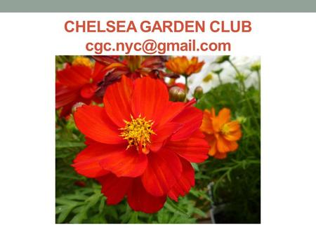 CHELSEA GARDEN CLUB How We Got Started NYC created 9 th Avenue bike lane tree pits Local volunteers get involved A critical event happensdestruction.
