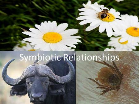 Symbiotic Relationships. What are Symbiotic Relationships? ? Symbiosis is the close relationship between two or more organisms of different species, often.