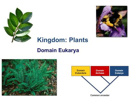 2007-2008 Domain Eubacteria Domain Archaea Domain Eukarya Common ancestor Kingdom: Plants Domain Eukarya.
