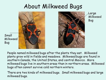 About Milkweed Bugs Large Milkweed Bug Small Milkweed Bug
