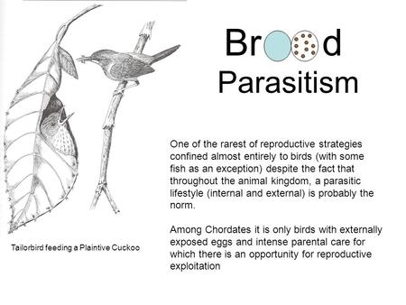 Brd Parasitism One of the rarest of reproductive strategies confined almost entirely to birds (with some fish as an exception) despite the fact that throughout.
