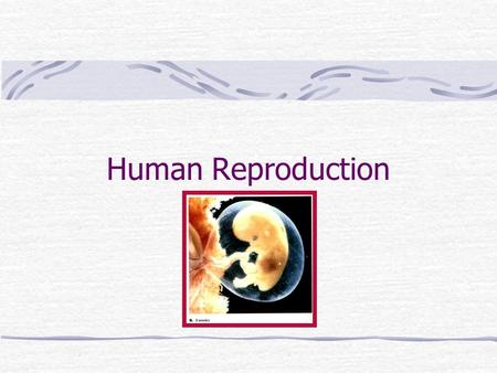 Human Reproduction. Human Reproductive System MaleFemale.