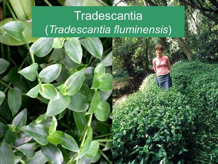 Tradescantia (Tradescantia fluminensis). Tradescantia (Tradescantia fluminensis) Native to South America A serious weed in a number of places around the.
