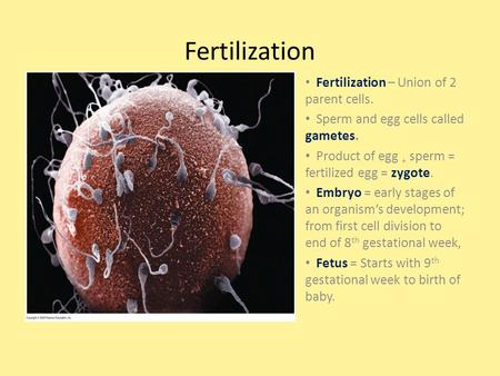 Fertilization Fertilization – Union <strong>of</strong> 2 parent cells.