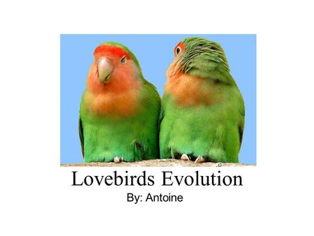 Lovebirds Evolution By: Antoine. We took the lovebirds around December 15 th 2006. They were very noisy and aggressive, probably because their environment.