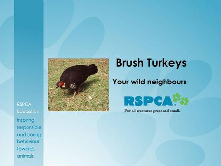 Brush Turkeys Your wild neighbours.
