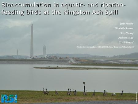 Bioaccumulation in aquatic- and riparian- feeding birds at the Kingston Ash Spill Elizabeth Burton.