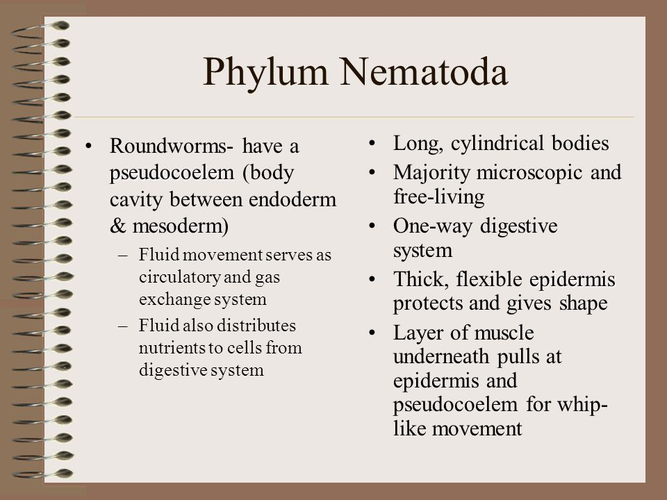 Phylum Nematoda Roundworms –Ascaris, Trichinella and hookworms –Characteristics: Flattened bodies Bilateral symmetry Many are parasites Fluid-filled body cavity called a pseudocoelem Digestive tube No skeleton Sexual reproduction (Internal fertilization) –Sperm is amoeboid Free movement Skin breathing