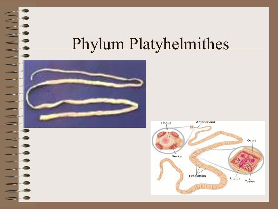 Phylum Platyhelminthes Largest flatworm class, Trematoda flukes –Parasitic worms called flukes –Endoparasites ectoparasites –Endoparasites or ectoparasites Subclass Aspidogastrea (Aspidobothrea)- Endoparasite of mollusksSubclass Aspidogastrea (Aspidobothrea)- Endoparasite of mollusks Subclass Digenea- Endoparasites of vertebratesSubclass Digenea- Endoparasites of vertebrates –Tegument- –Tegument- thick protective covering prevents them from being digested –Take nourishment directly from hosts –Use suckers to attach and the muscular pharynx to suck nourishment from hosts body fluids Complex life cycles involve more than one host Ex: Schistosoma- Responsible for schistosomiasis –From contaminated water –Larvae bore into host skin into blood vessels of intestines –Block vessels causing bleeding and damage to liver –Snail is intermediate host –Class Monogenea- Monogenetic flukes One life cycle in one host Mostly ectoparasites on vertebrates