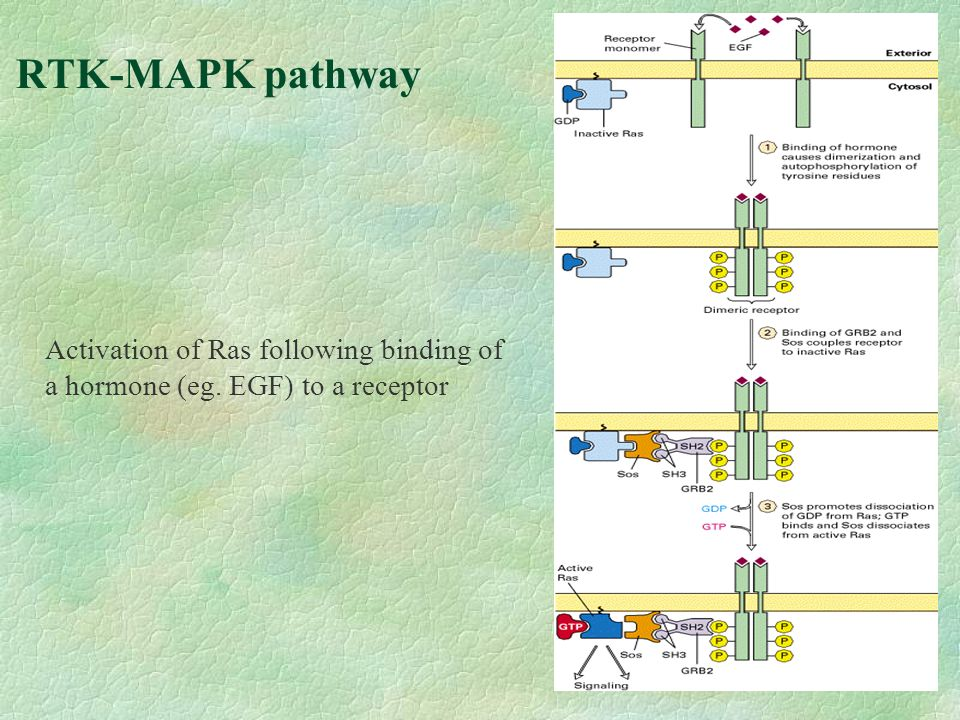 RTK-MAPK pathway step: O-Plan Output Phosphorylation of GRB2 at domain Sh2 by the RTK receptor