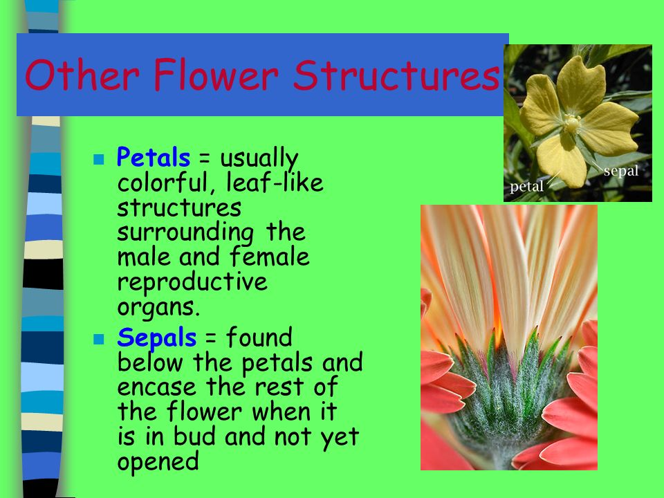 Other Flower Structures n Petals = usually colorful, leaf-like structures surrounding the male and female reproductive organs.