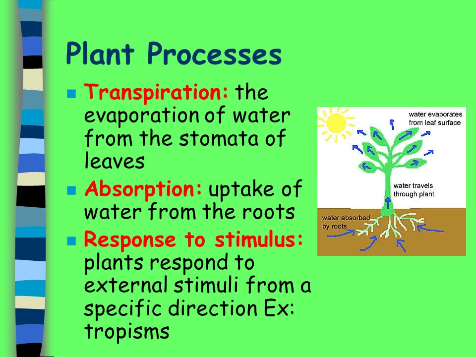 Plant Processes n Transpiration: the evaporation of water from the stomata of leaves n Absorption: uptake of water from the roots n Response to stimulus: plants respond to external stimuli from a specific direction Ex: tropisms
