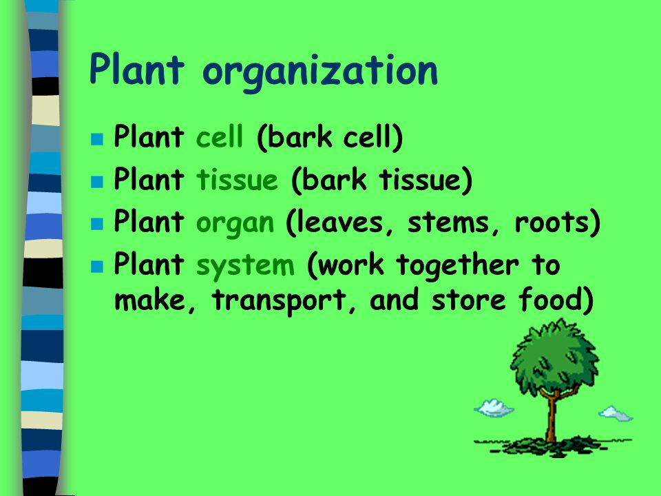 Plant organization n Plant cell (bark cell) n Plant tissue (bark tissue) n Plant organ (leaves, stems, roots) n Plant system (work together to make, transport, and store food)