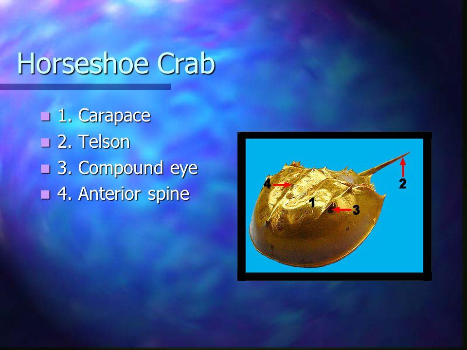 Horseshoe Crab 1.Carapace 1. Carapace 2. Telson 2.