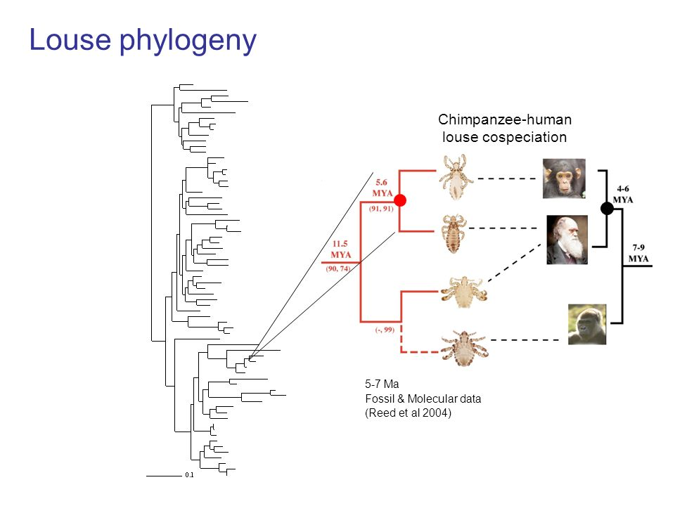 Louse phylogeny (Reed et al 2004) 20-25 Ma Fossil & Molecular data Old World Monkeys - Apes cospeciation