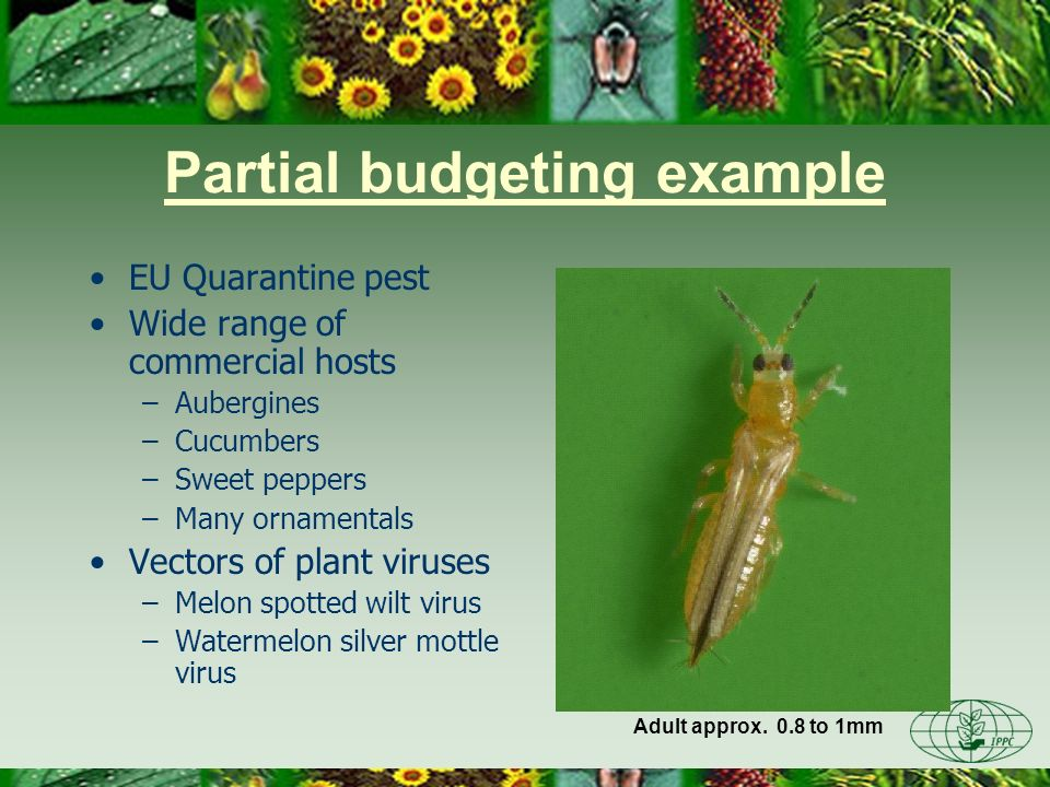 Partial budgeting example Pest risk assessment shows could establish in glasshouses in northern Europe Previous outbreak in NL glasshouses Adult approx.