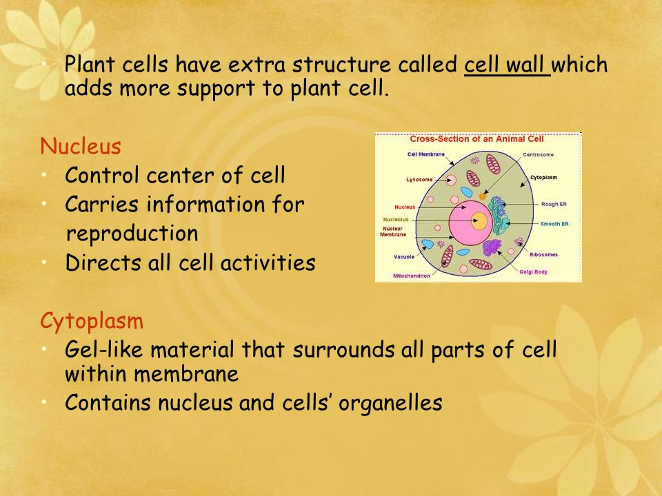 Plant cells have extra structure called cell wall which adds more support to plant cell.
