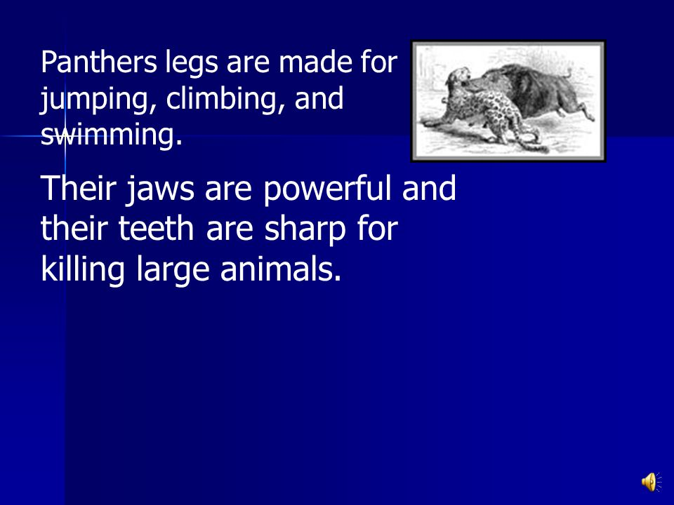 Panthers legs are made for jumping, climbing, and swimming.