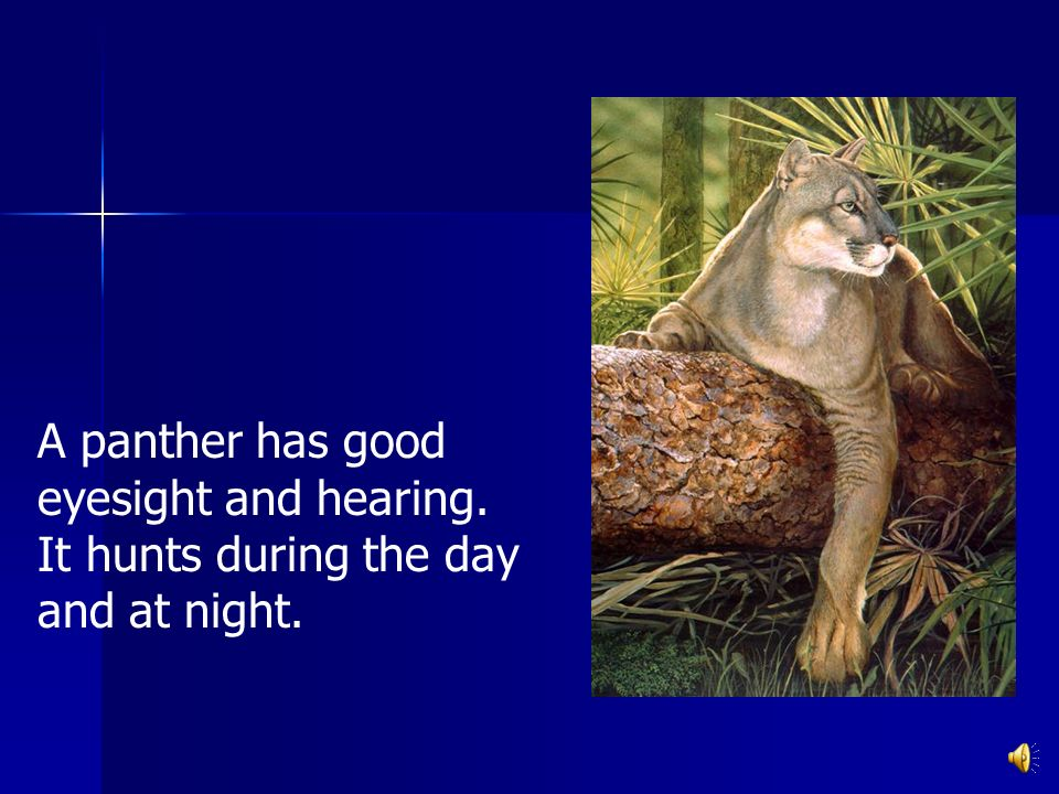A panther has good eyesight and hearing. It hunts during the day and at night.