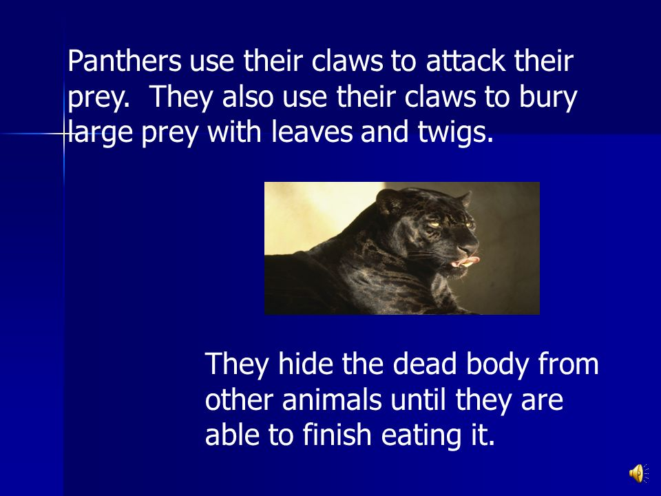 Panthers use their claws to attack their prey.