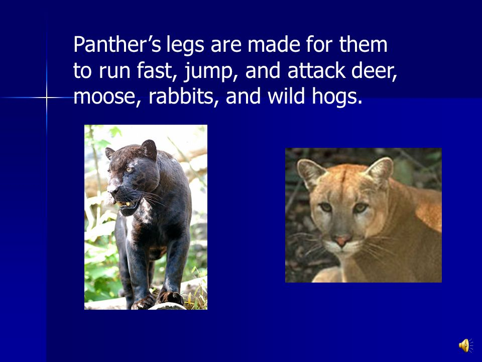 Panthers legs are made for them to run fast, jump, and attack deer, moose, rabbits, and wild hogs.