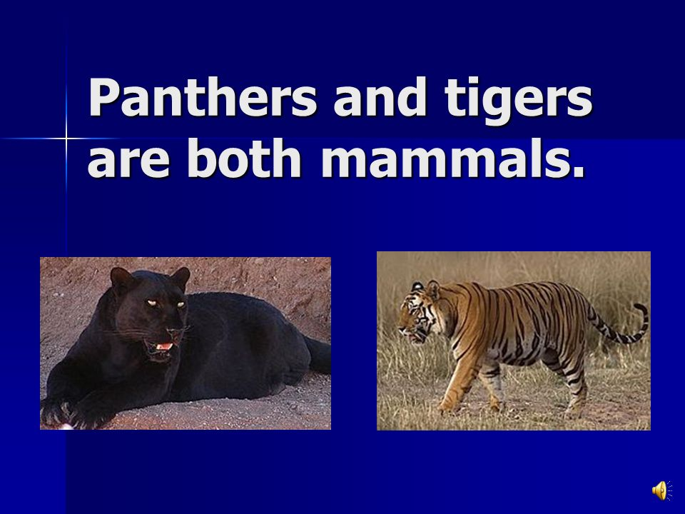 Panthers and tigers are both mammals.
