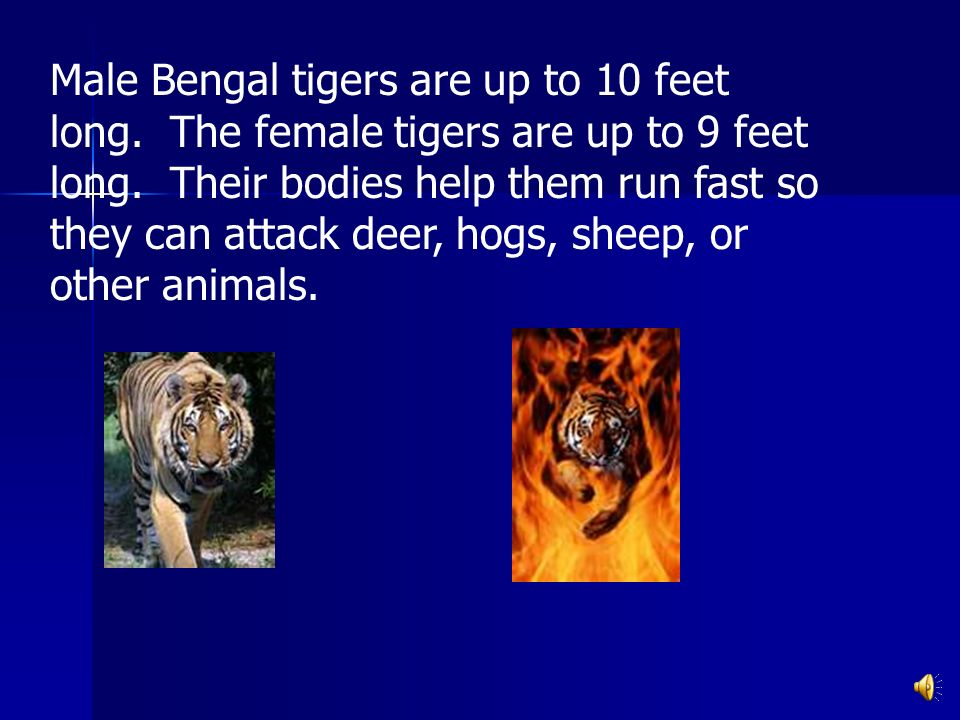 Male Bengal tigers are up to 10 feet long.The female tigers are up to 9 feet long.