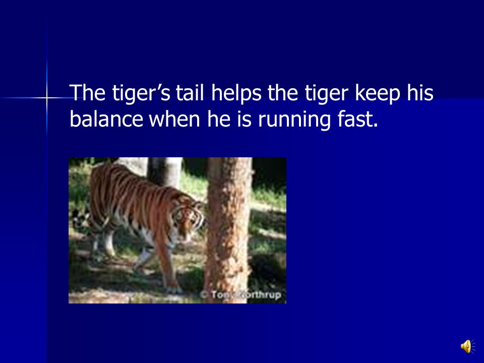 The tigers tail helps the tiger keep his balance when he is running fast.