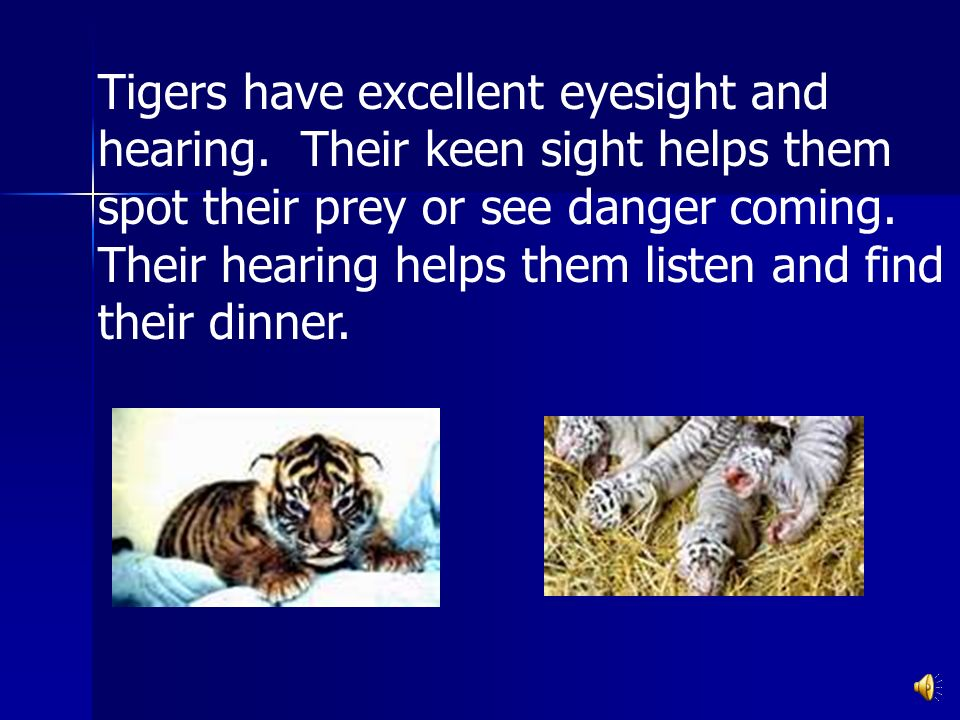 Tigers have excellent eyesight and hearing.