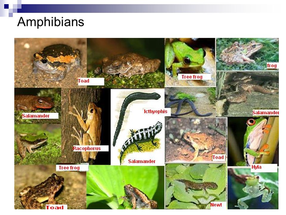 Characteristics of Amphibians Thin, moist skin 4 legs (except for the apoda) No claws on their toes Most live on land as adults Require water for reproduction Fertilization is usually external Water is needed to transport sperm so eggs are usually laid in water No protective membranes or shells on their eggs