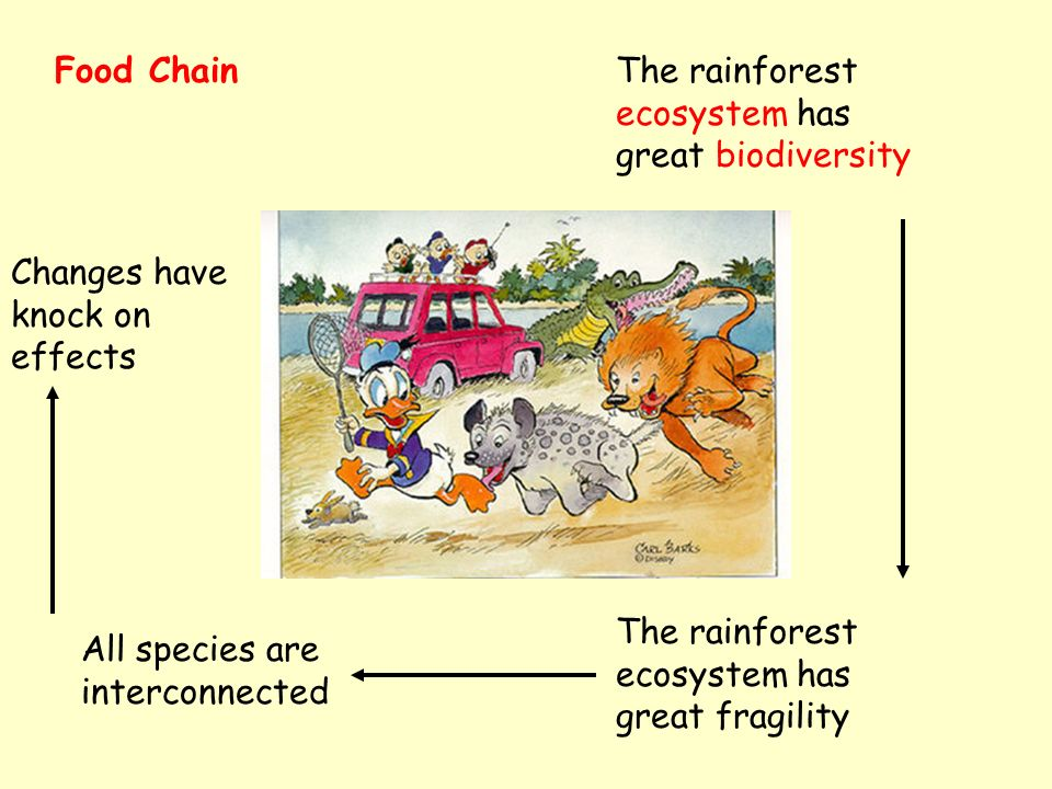 Food ChainThe rainforest ecosystem has great biodiversity The rainforest ecosystem has great fragility All species are interconnected Changes have knock on effects