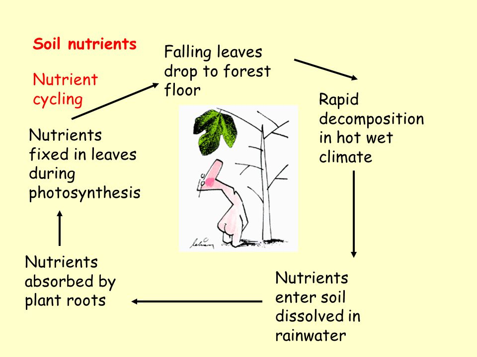 Soil nutrients Falling leaves drop to forest floor Rapid decomposition in hot wet climate Nutrients enter soil dissolved in rainwater Nutrients absorbed by plant roots Nutrients fixed in leaves during photosynthesis Nutrient cycling