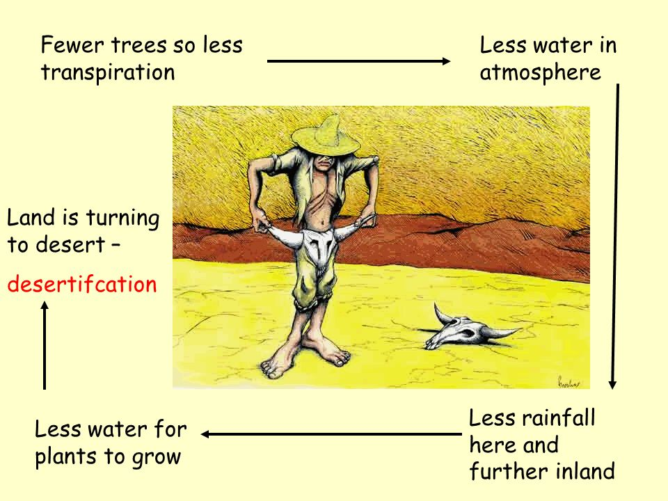 Fewer trees so less transpiration Less water in atmosphere Less rainfall here and further inland Less water for plants to grow Land is turning to desert – desertifcation