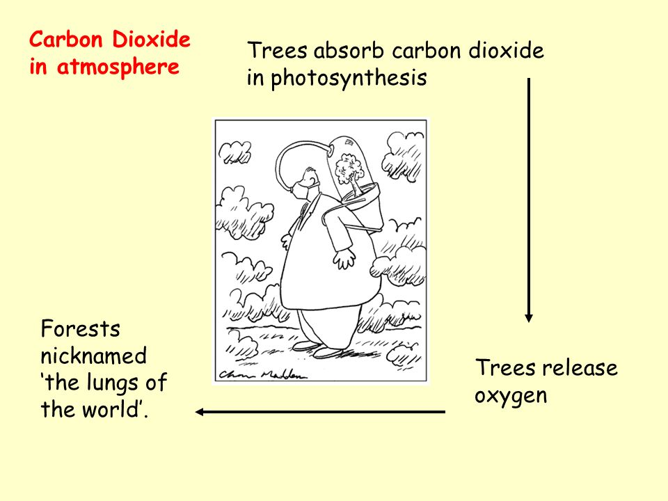 Carbon Dioxide in atmosphere Trees absorb carbon dioxide in photosynthesis Trees release oxygen Forests nicknamed the lungs of the world.
