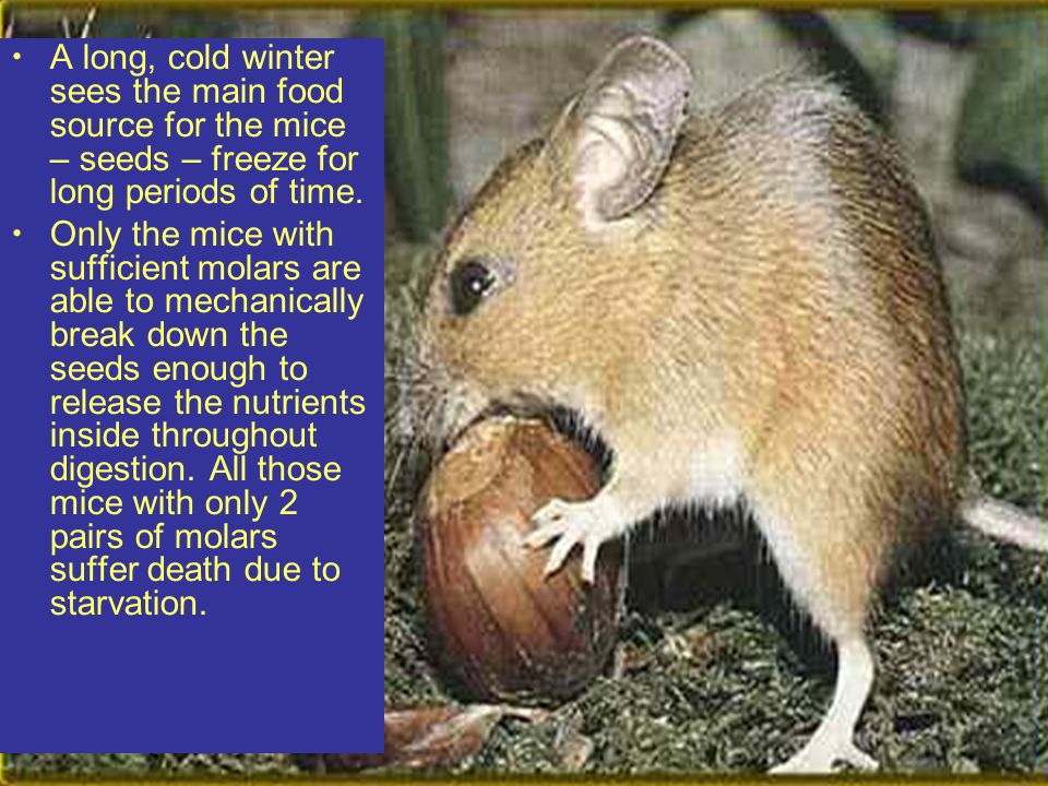 And so now we see, through years of natural selection, surviving the odds of nature, and all the battle in between, we have developed the ultimate, strongest, fittest, most cunning mouse of all time.....