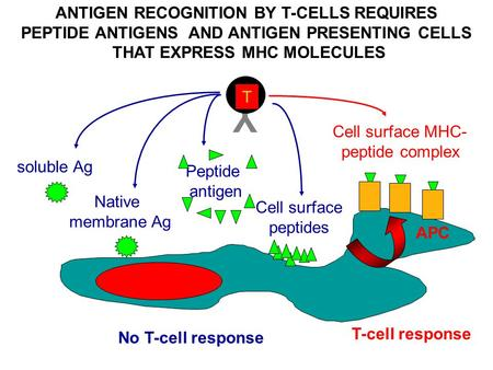 ANTIGEN RECOGNITION BY T-CELLS REQUIRES PEPTIDE ANTIGENS AND ANTIGEN PRESENTING CELLS THAT EXPRESS MHC MOLECULES Y T No T-cell response soluble Ag Native.